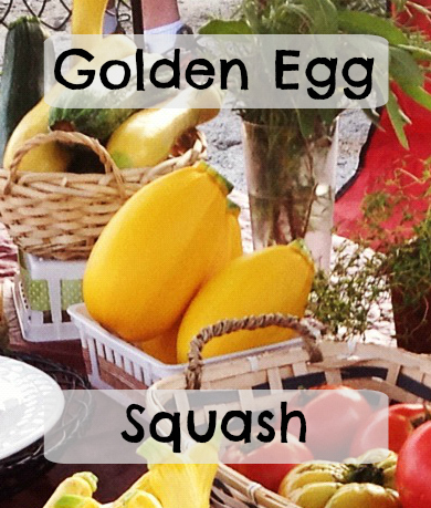 Golden Egg Squash for the market garden