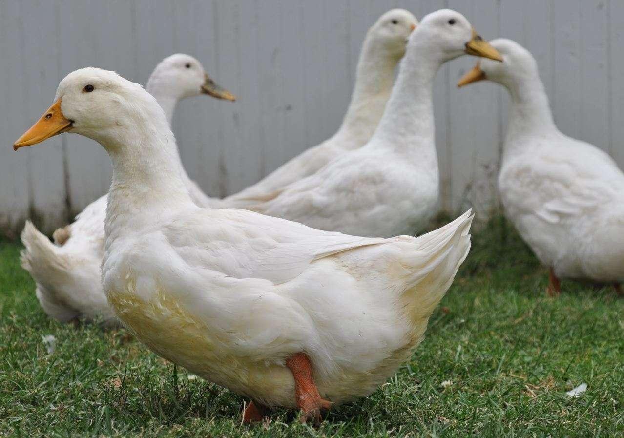 Peking-Duck-bug repelent