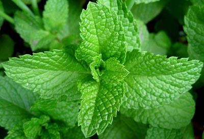 peppermint-Repel Bugs