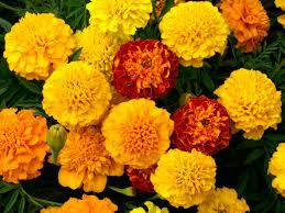 marigold-Repel Bugs