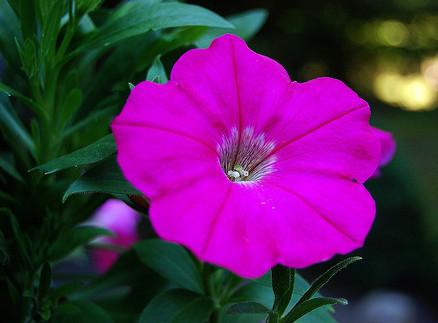 petunia-flower-Repel Bugs