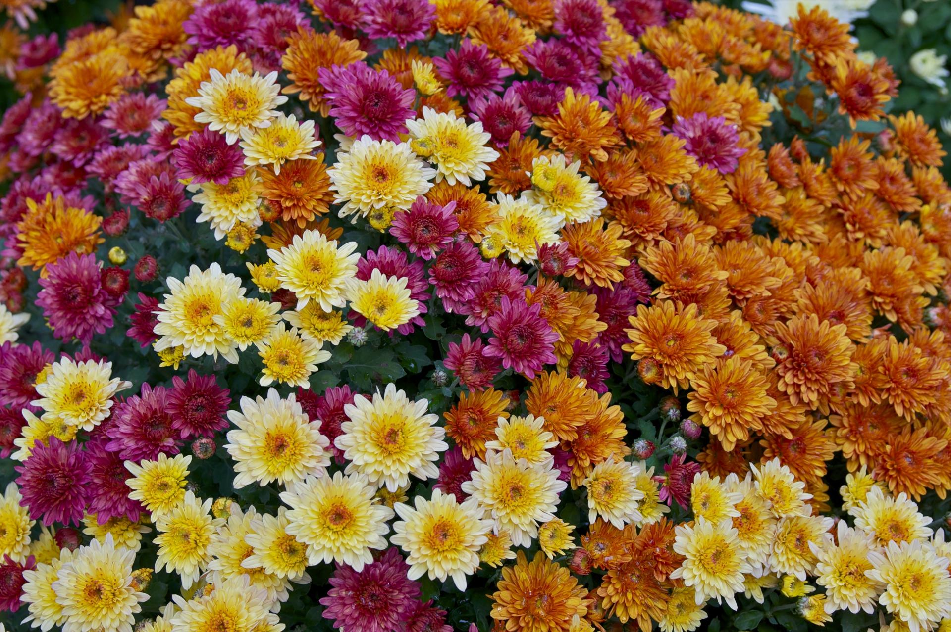 Chrysanthemum-Repel Bugs