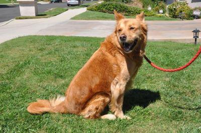 Adopt a Golden Retriever - GRCGLA Rescue