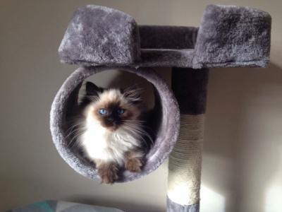 lulu the ragdoll kitten