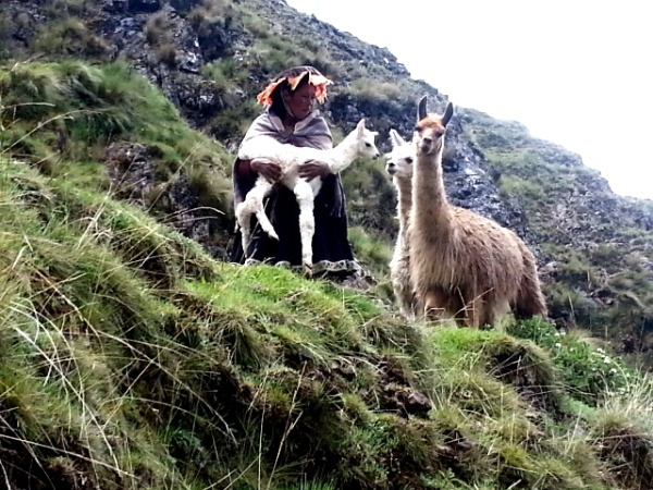 Baby Alpaca in The Andes Mountains