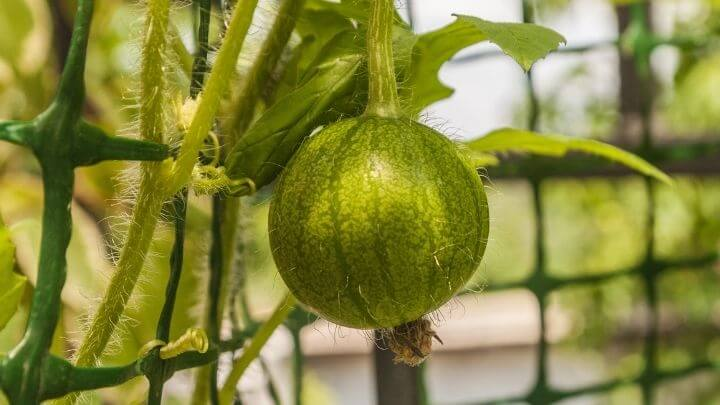 Watermelon on a trellis