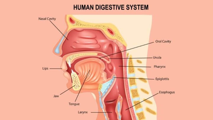 Human digestive system starts in the mouth