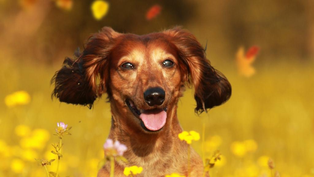 A dog in a flower field