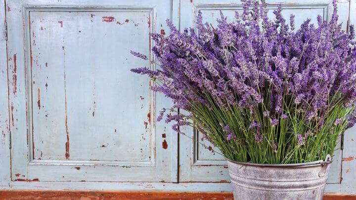 Lavender in a tin bucket