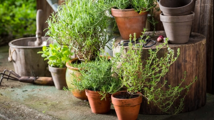 Herbs in pots on the back yard