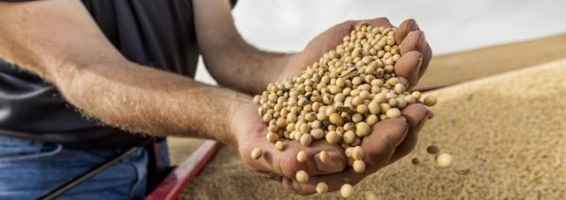 Walking Fields Soybeans