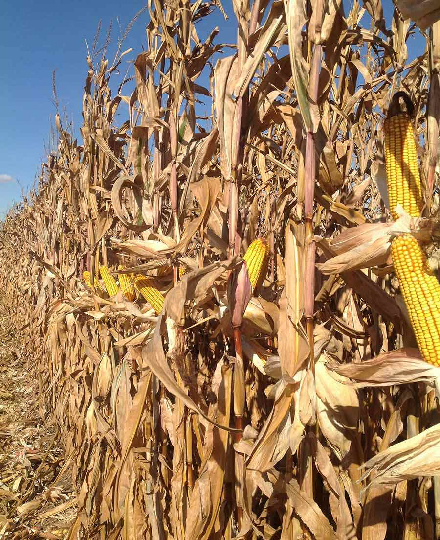 Corn Vertical IMG 3376