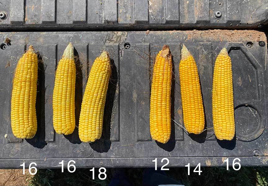 Sized Ag Concepts Ear Size 2020