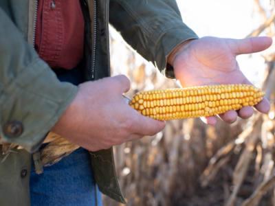 Relating Silk Emergence at Pollination to Kernel Set at Harvest