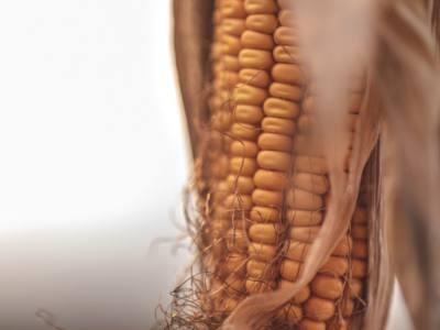 Corn Grain Yield in Relation to Stress During Ear Development