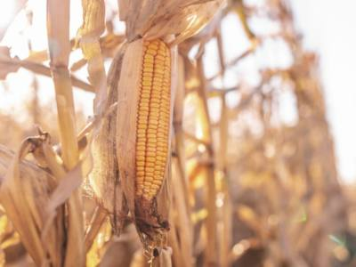 Premature Germination of Corn Kernels