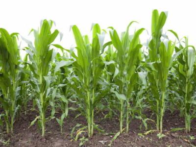 Corn Planting Depth: Soil Temperature and Moisture Flux in the Furrow