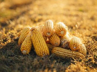 Novel Corn Rootworm Beetle Control Options