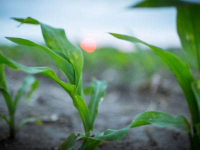 How Early Season Drought Affects Your Corn Crop