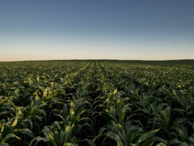High Rootworm Pressure? Try These Alternate Forage Options