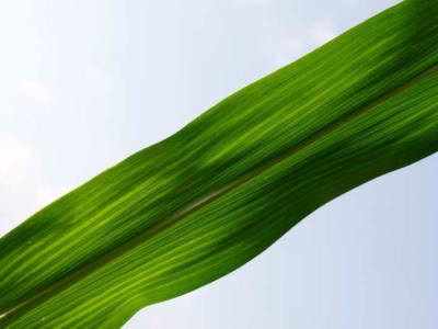 Assessing and Managing Nitrogen Losses in Corn