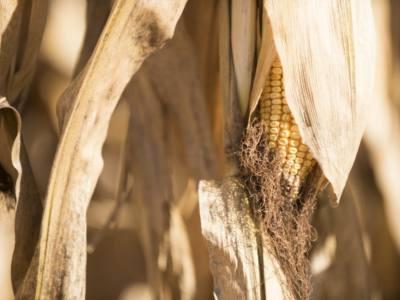 Corn Maturity and Drydown