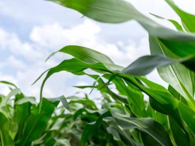 Tar Spot in Corn in the Midwestern U.S.