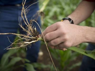 Nematode Biology and Management in Corn