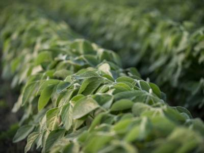 Diagnosing Common In-Season Issues in Soybeans