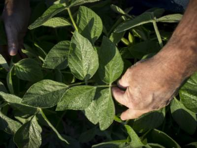 Soybean Aphid Management