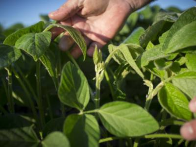 Sudden Death Syndrome of Soybeans