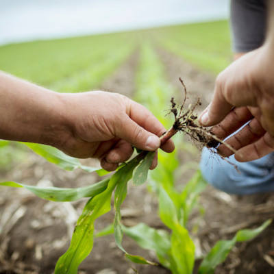 Hybrid Maturity Switches Based on Long-Term Research