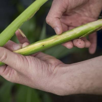 Identifying and Managing Stalk Rots