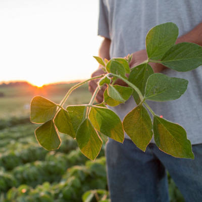 Symptoms of Dicamba Injury in Soybeans