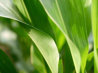 Maximizing the Value of Foliar Fungicides in Corn