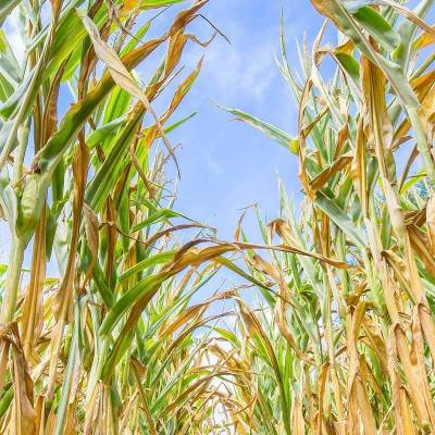 Drought-Stressed Grain Harvest