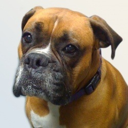 Millie (the Boxer)