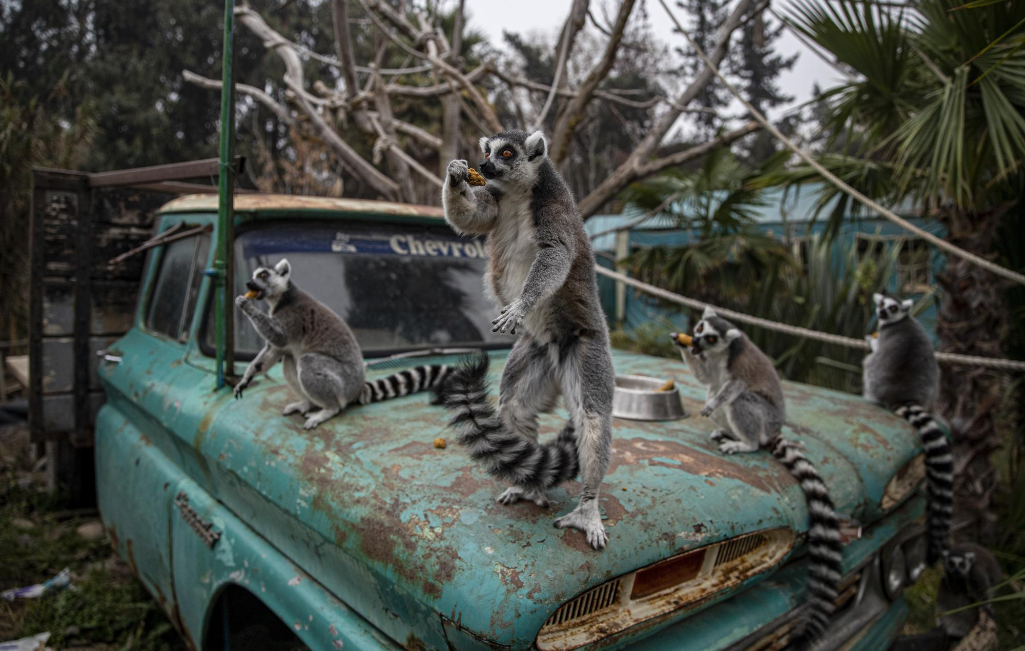 """Ring-tailed lemurs sit on the hood of a truck while snacking inside the Buin Zoo in Santiago, Chile, Tuesday, June 15, 2021. The largest private zoo in Chile, experiencing a serious economic situation due to the closure of its doors as a result of the prolonged quarantine measures to contain the COVID-19 pandemic, has started a campaign called """"Sponsor an Animal"""" to raise money to maintain them. (AP Photo/Esteban Felix)"""