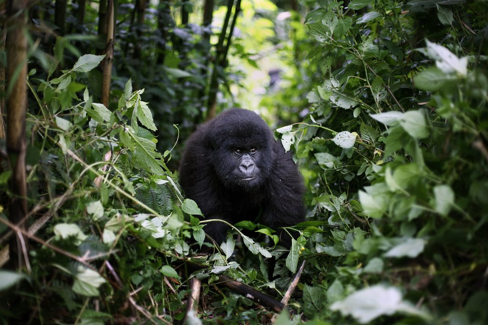 Conservationists warn of detrimental effect the coronavirus plague can have on Africa's mountain gorillas
