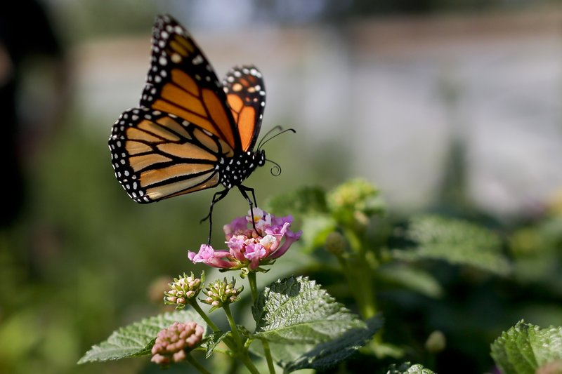 Monarch Butterfly Population is Dangerously Close to Extinction