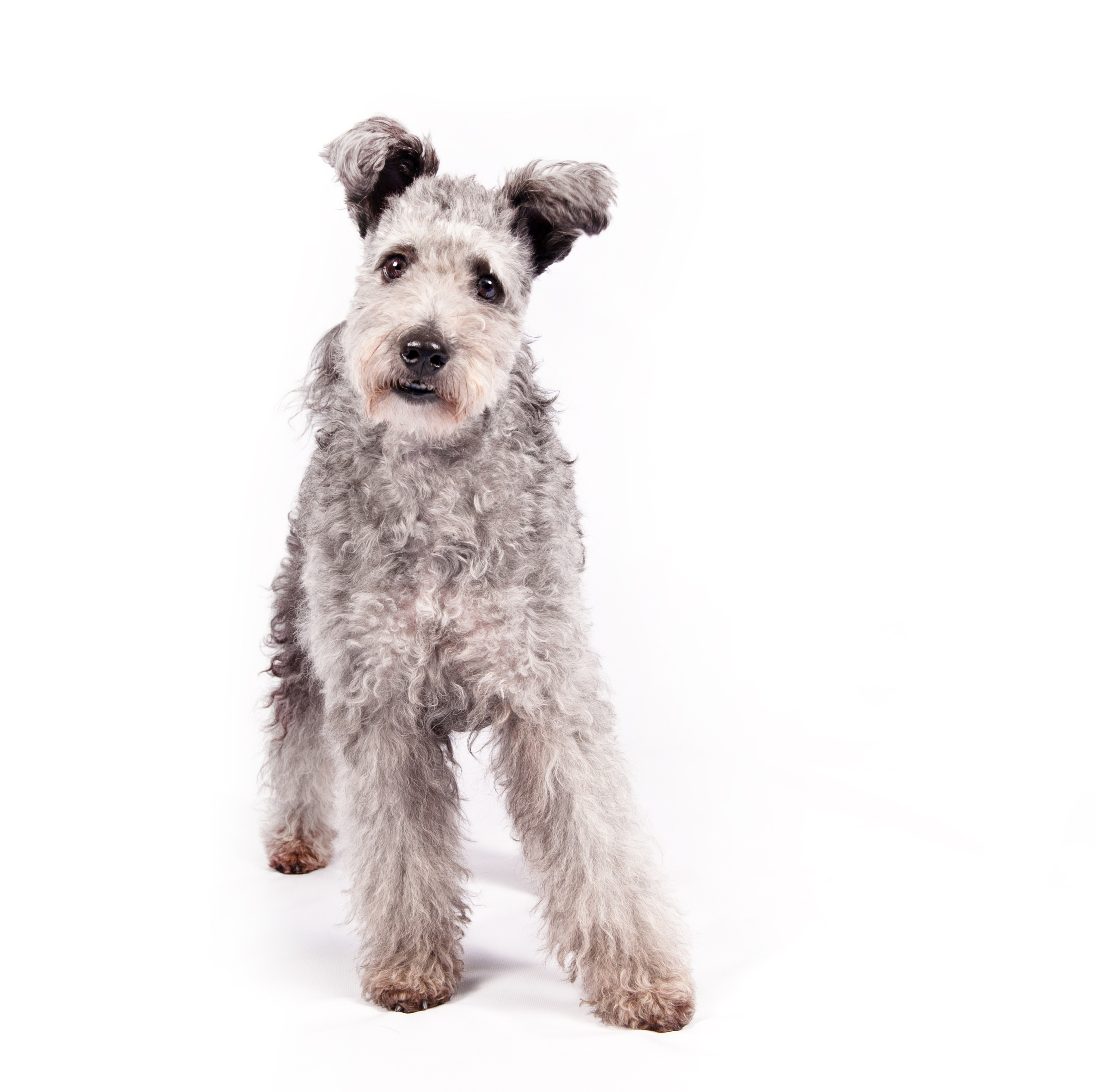 American Kennel Club's newest breed: Meet the lively pumi