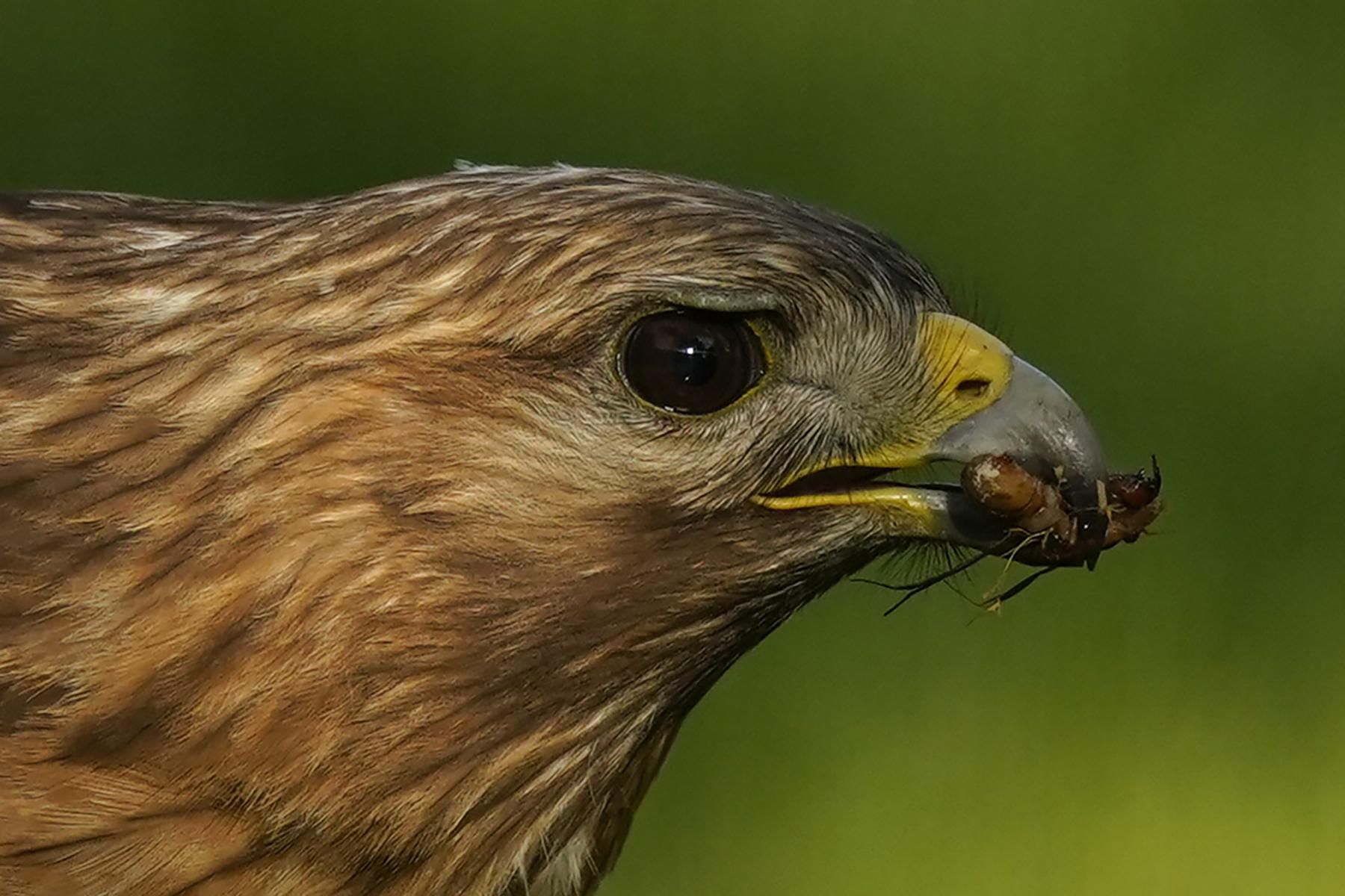 A red-shouldered hawk holds a cicada nymph in its beak as it feeds in a lawn, Monday, May 17, 2021, in Columbia, Md. (AP Photo/Carolyn Kaster)