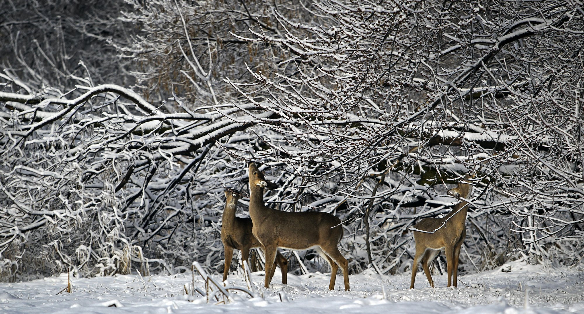 Agency moves to curb chronic wasting among Minnesota's deer