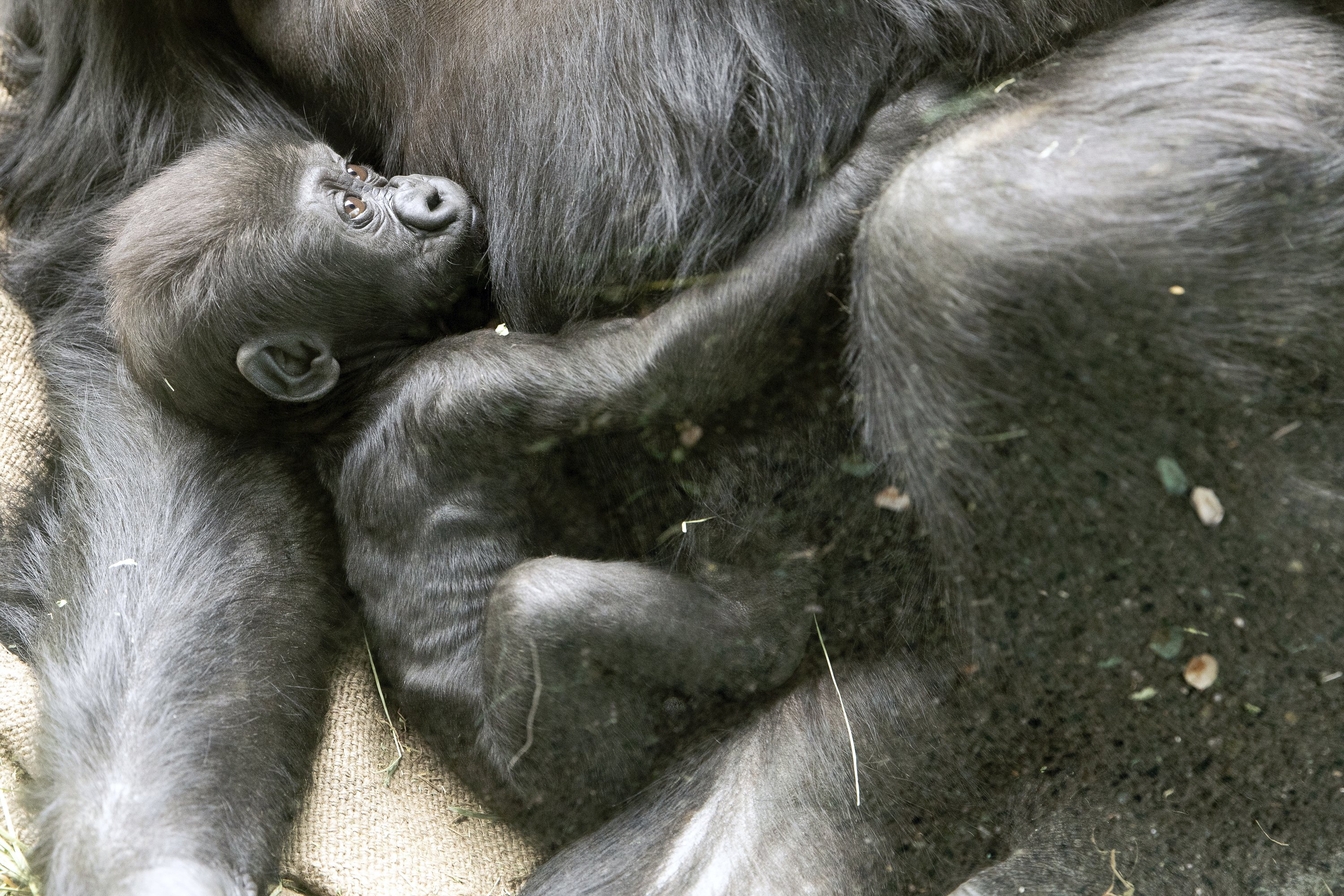 Baby gorilla badly injured in family skirmish at Seattle zoo