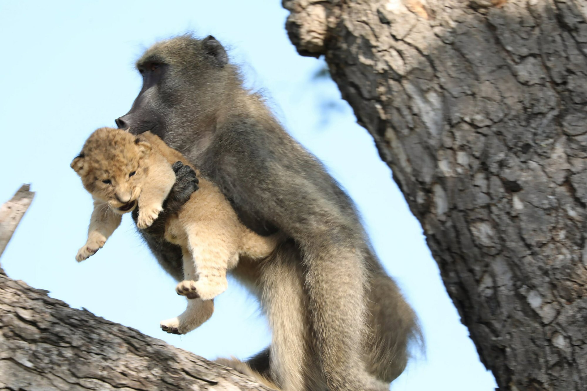 Baboon Grooms Little Lion Cub In South Africa S Kruger Park