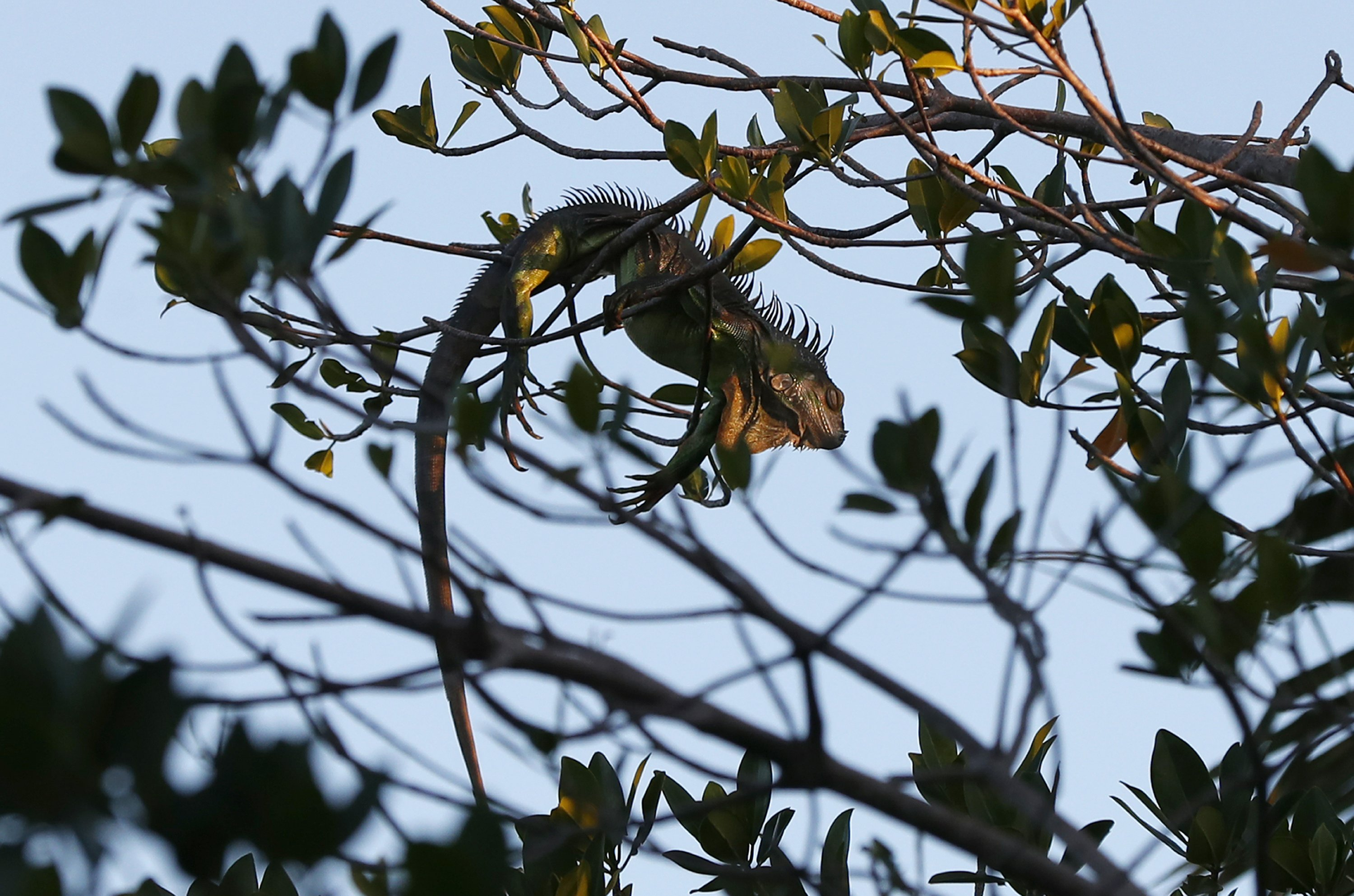Cold-stunned iguanas falling from Florida trees