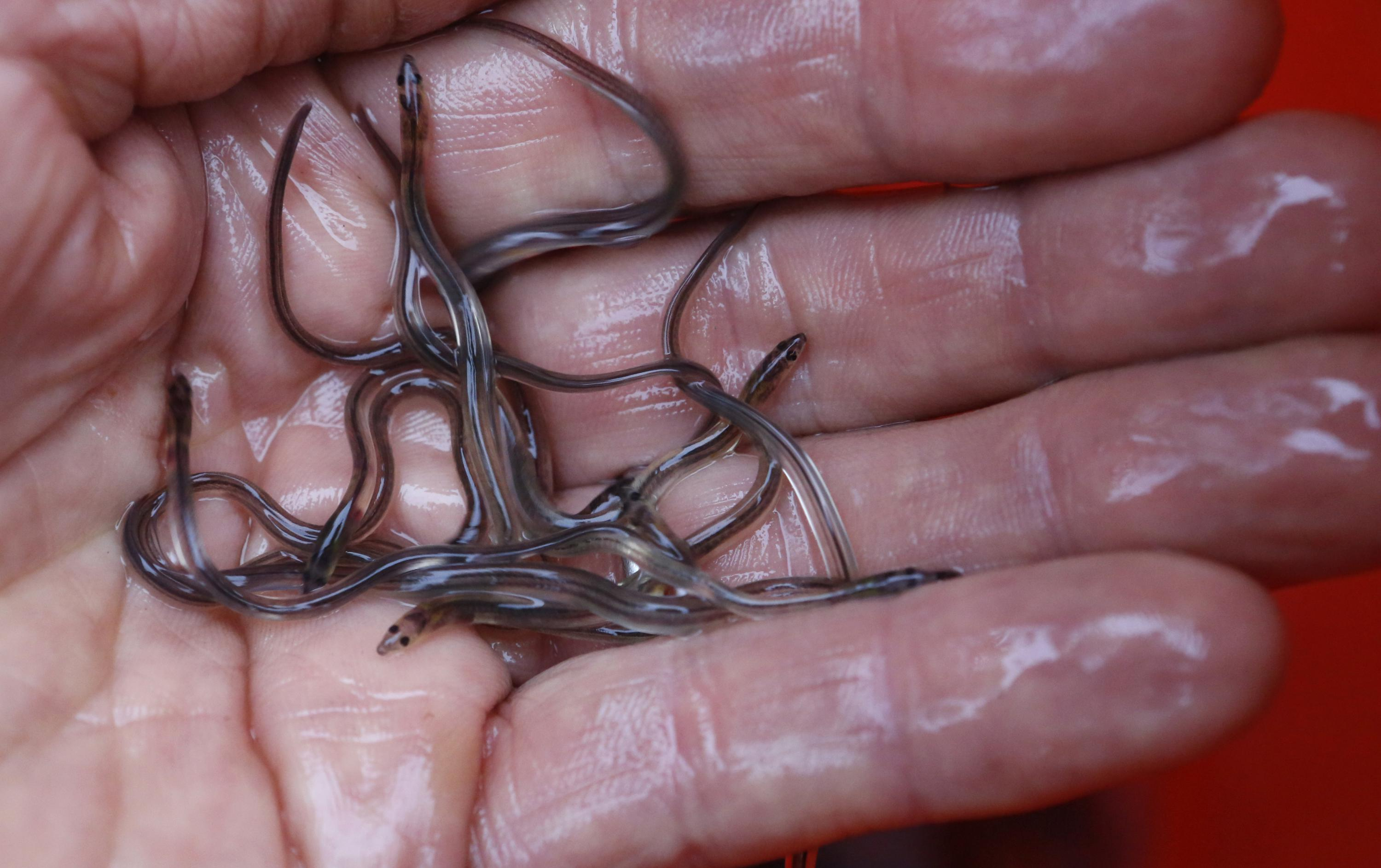 Baby elvers rocket back up in value in Maine