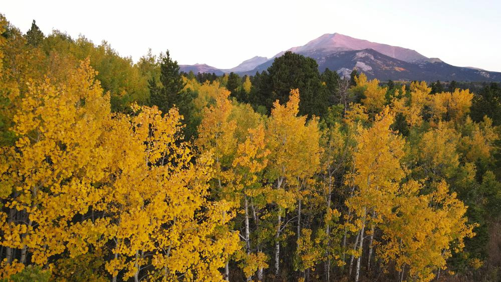 Aspens showcase their autumn color, Sunday, Sept. 26, 2021, near Estes Park, Colo. Recent leaf-peeping seasons have been disrupted by weather conditions in New England, New York and elsewhere. Arborists and ecologists say the trend is likely to continue as the planet warms. (AP Photo/Brittany Peterson)