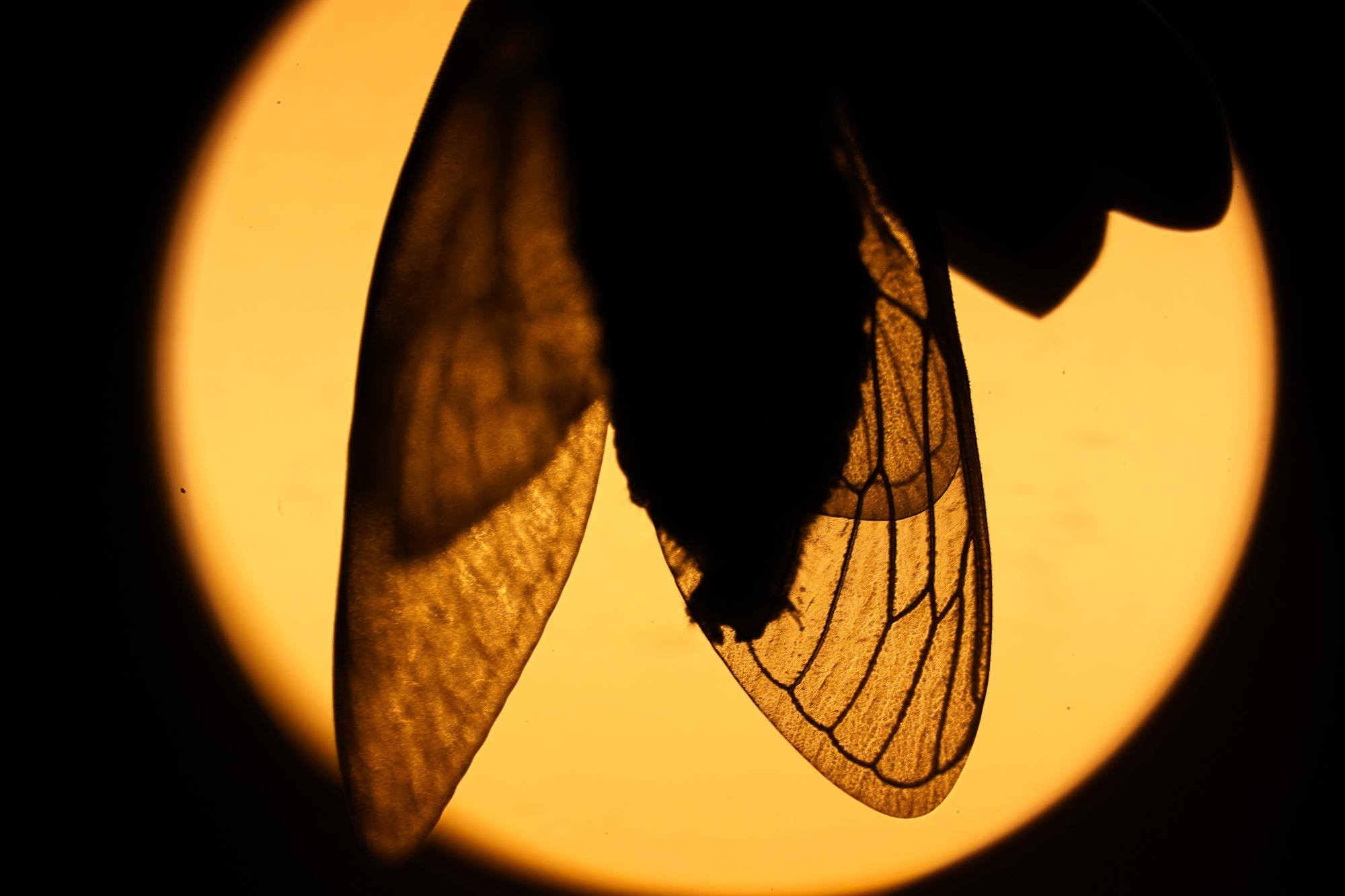 The wings of an adult cicada are silhouetted by a distant street light in Chevy Chase, Md., Thursday, May 13, 2021. (AP Photo/Carolyn Kaster)