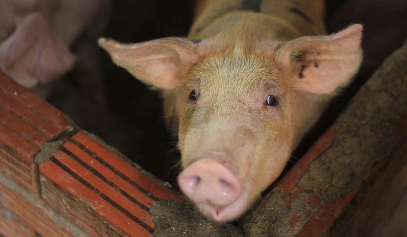 Millions of pigs culled as swine fever spreads through Asia